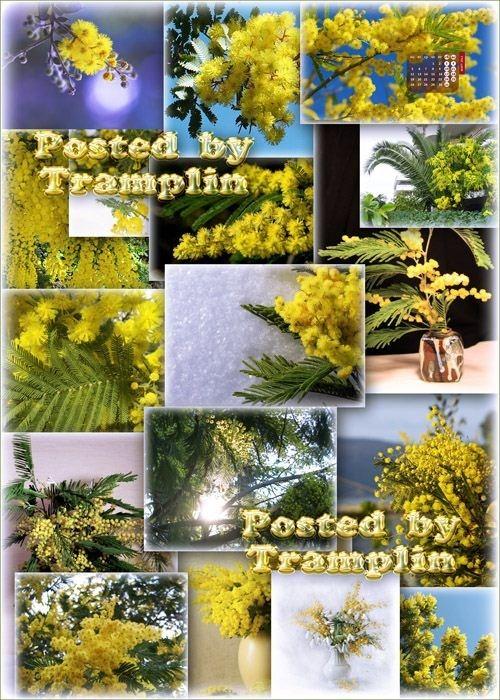 Весенний фото клипарт Мимоза – Весны пробужденья росток