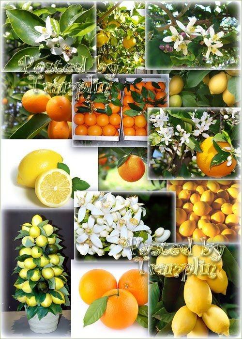 Растровый Клипарт – Апельсины, мандарины, лимоны