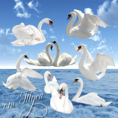 Клипарт - Белый лебедь на пруду