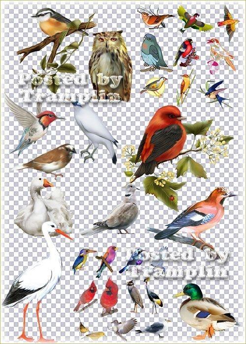 Набор птичек на прозрачном фоне - Лебеди, селезень, сова, ворон, попугаи и  ...