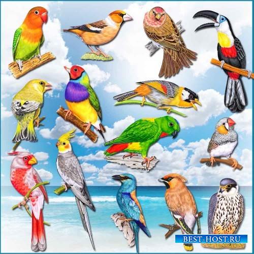Клипарт на прозрачном фоне - Красивые птички