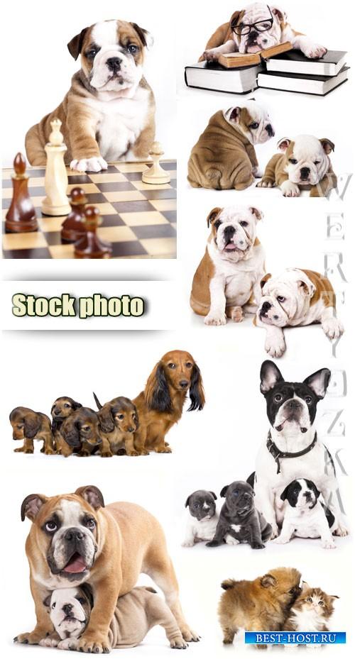 Бульдог английский / English bulldog, pets, puppies - Raster clipart