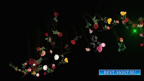 HD футаж - Розы россыпь MOV