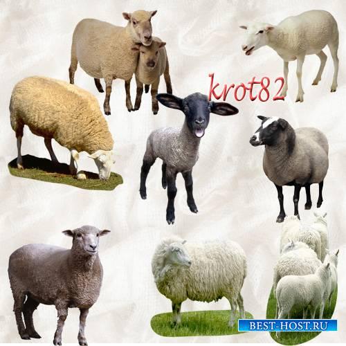 Домашние животные на прозрачном фоне - Овцы, козы, бараны, ягнята