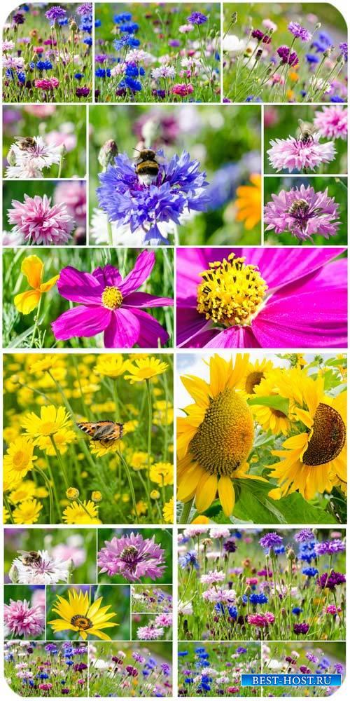 Цветочные поля, подсолнухи / Flower field, sunflowers - Stock photo