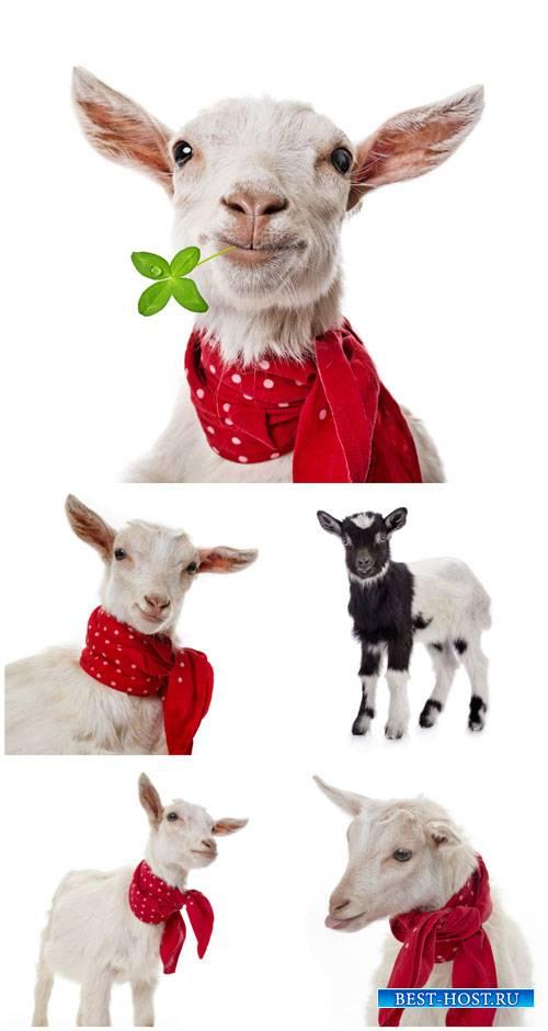 Коза с красным платком / Goat with a red handkerchief - Stock photo
