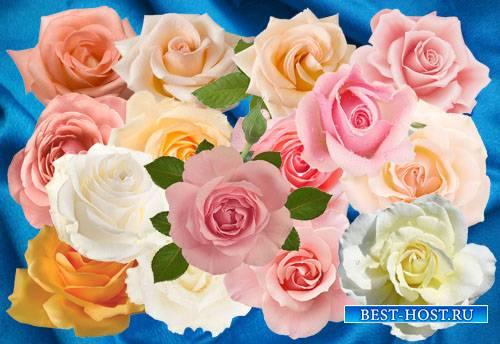 Клипарт Нежнейшая роза