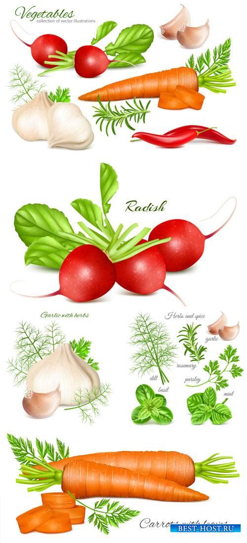 Vector vegetables, carrots, garlic, radish