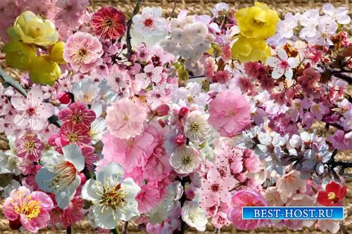 Клипарт Цветущие ветки сакуры и японской сливы