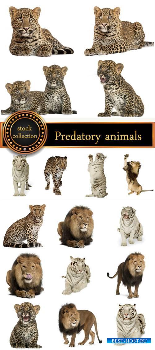 Predatory animals, lion, tiger - stock photos