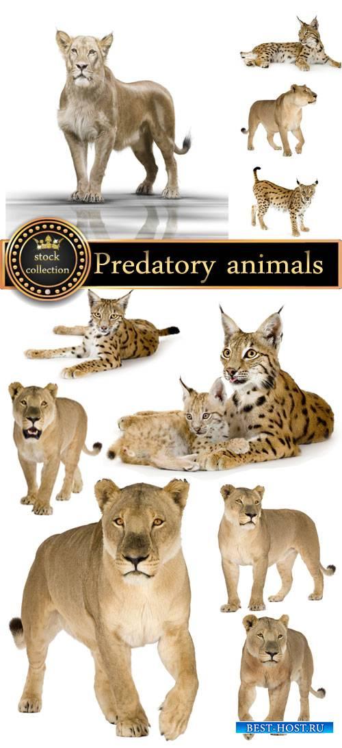 Predatory animals, lion, lynx - stock photos
