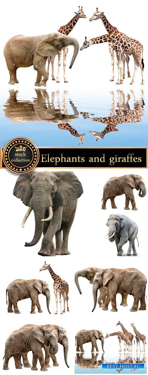 Elephants and giraffes, animals - stock photos