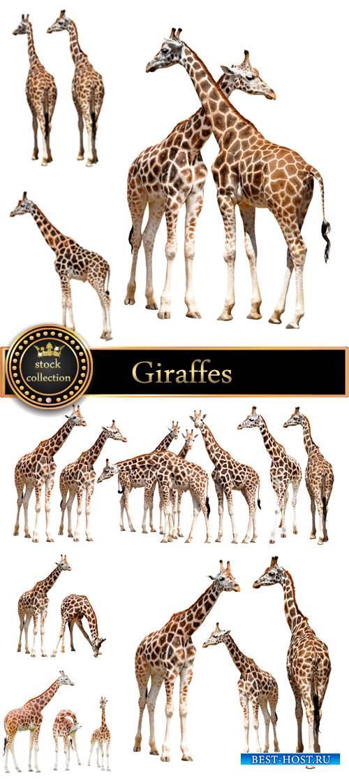 Giraffes, animals - stock photos