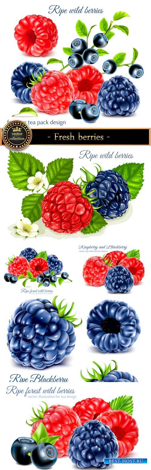 Fresh berries in a vector, blueberries, raspberries, currants
