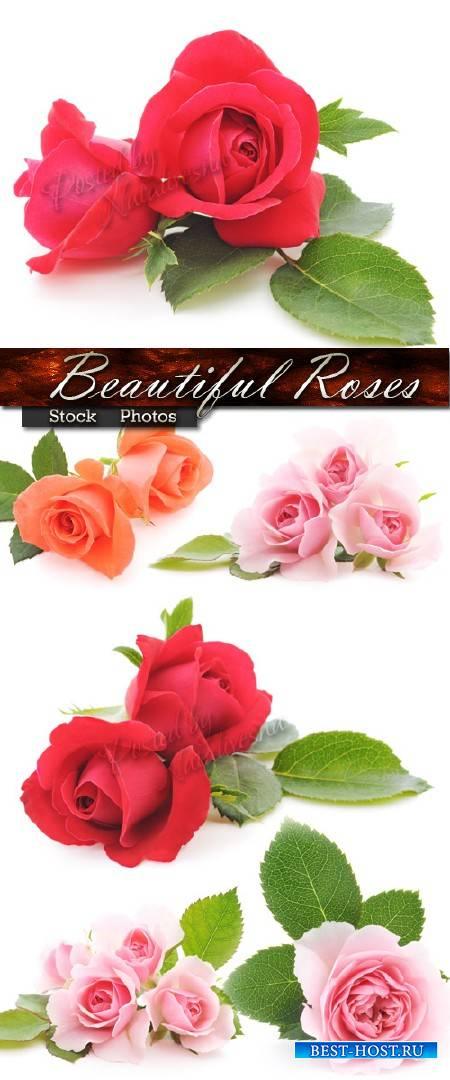 Розовые, красные, оранжевые Розы с нежными листочками