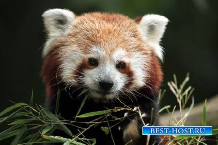 Животные и природа – Красная панда