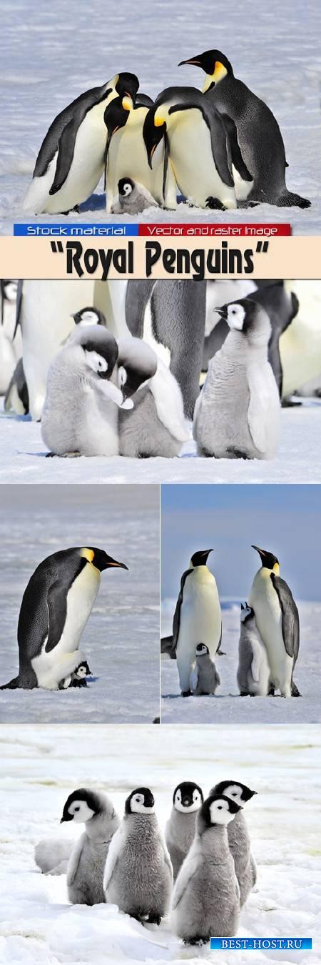 Королевские Пингвины с детенышами