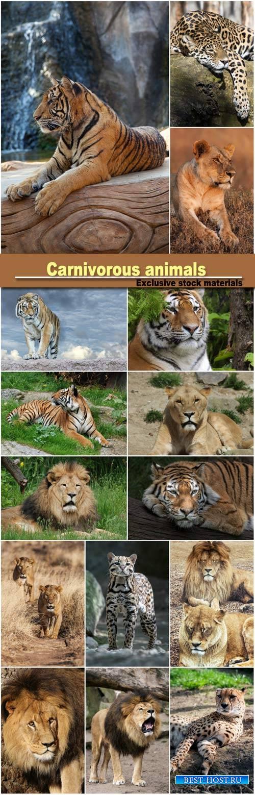 Carnivorous animals, leopard, lion, tiger