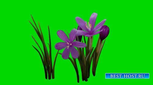 Футаж - Цветы на хромакее