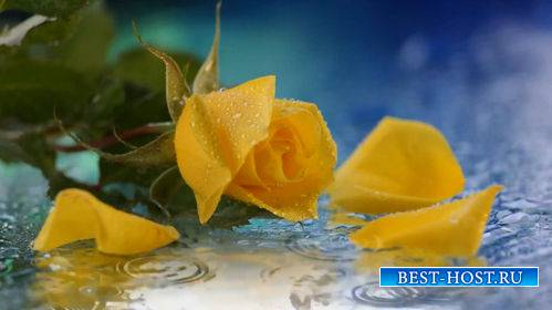 Футаж - Желтая роза и капли дождя