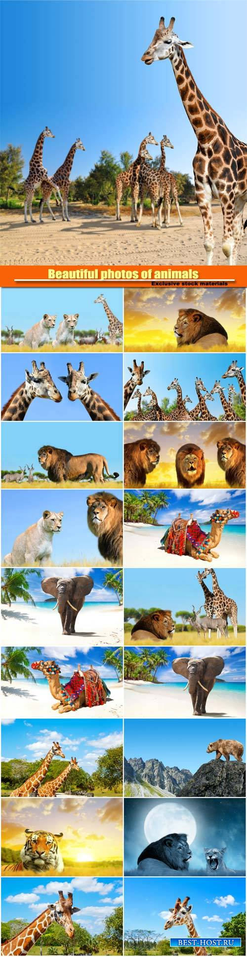 Beautiful photos of animals, lions, giraffes, camels and tigers