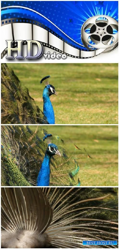 Video footage Peacock