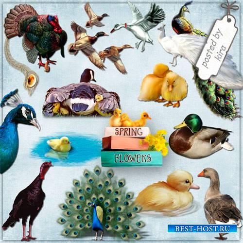 Клипарт - Утки, утята, гуси, индюки, павлины на прозрачном фоне