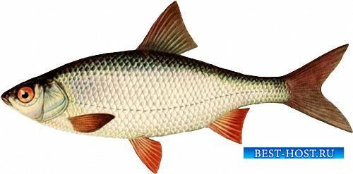 Фотошоп png - Рыба водоемов