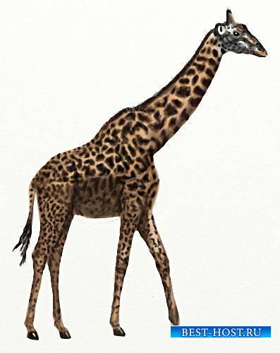 Картинки на прозрачном фоне - Африканские жирафы
