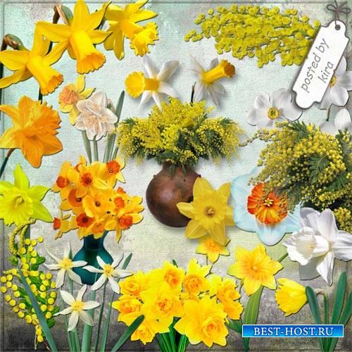 Клипарт цветочный - Мимозы, нарциссы