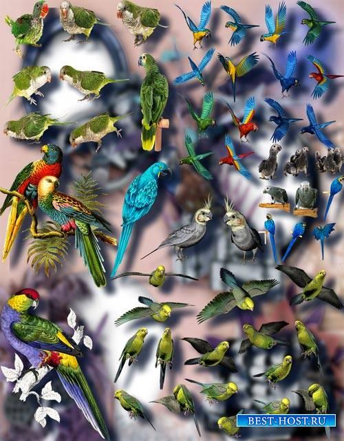 Png Клипарты - Цветные попугаи