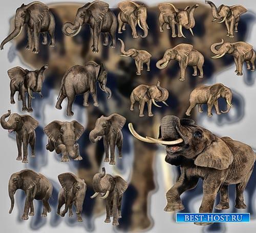Клипарты для фотошопа на прозрачном фоне - Гордые слоны