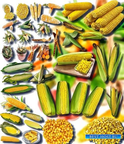 Клипарты на прозрачном фоне - Сладкая кукуруза