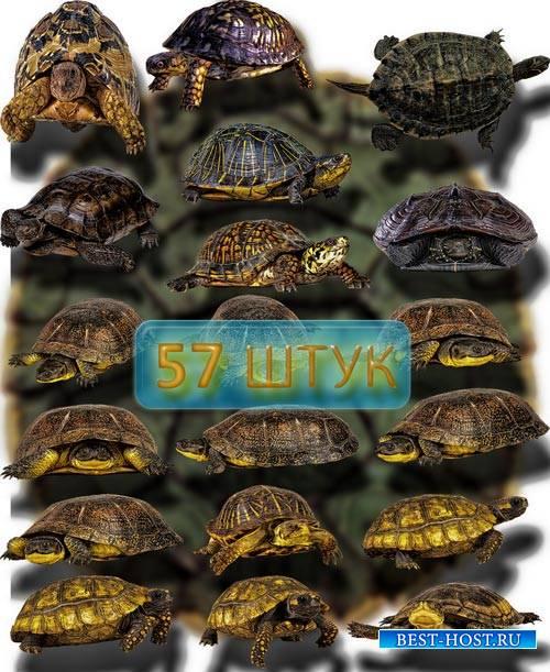 Фотошоп Png клип-арты - Красивые черепашки