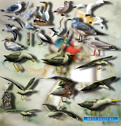 Клип-арты png - Морские чайки