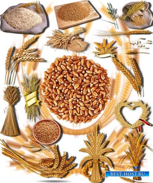 Фотошоп Png клип-арты - Золотая пшеничка