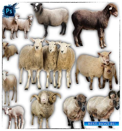 Клип-арты png без фона - Овцы