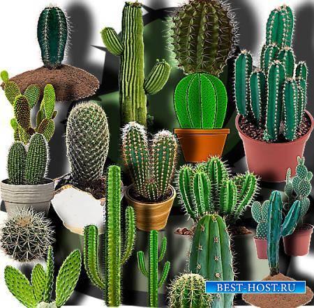 Клипарты для фотошопа - Зеленые кактусы
