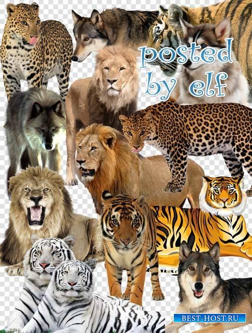 PNG клипарт - Волки, львы, тигры, леопарды