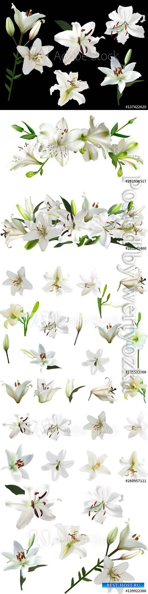 White lilies with green buds, beautiful flowers in vector