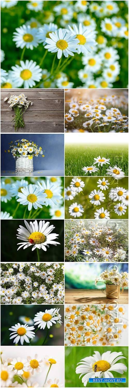 White daisies beautiful stock photo