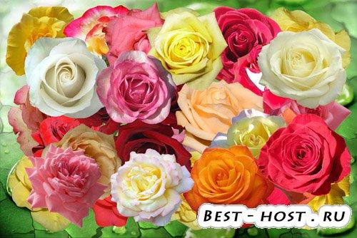 Клипарт Майская роза любви