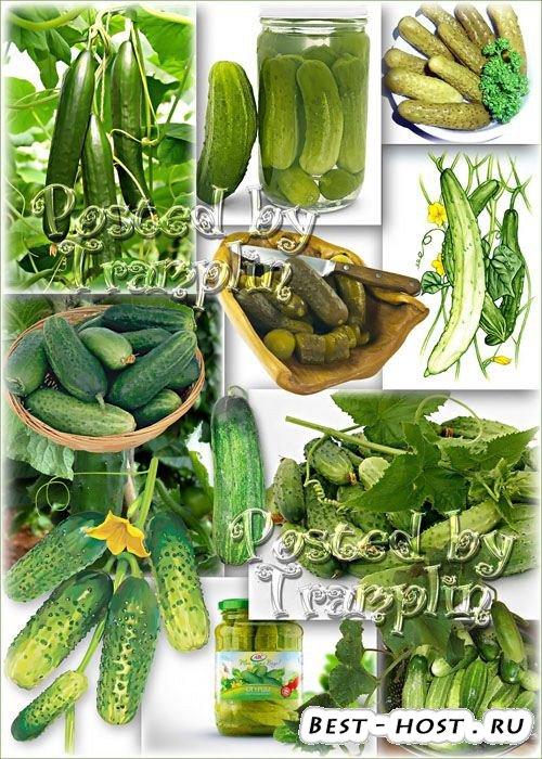 Клипарт Огурцы – Зелененьким листом укрылся как зонтом