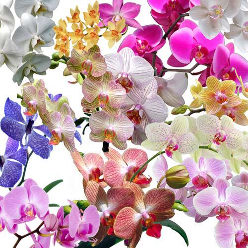 Клипарт - Великолепие орхидей