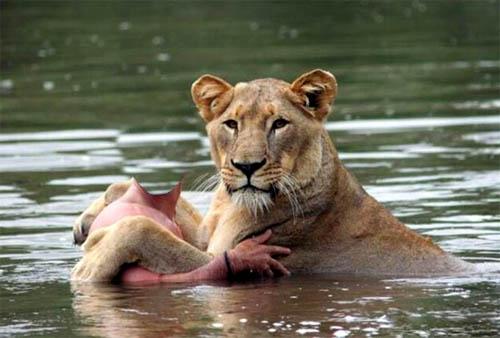 Шаблон для фото - купание с львицей