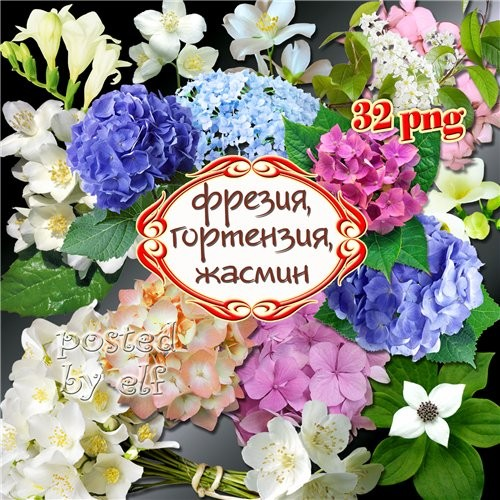 Фрезия, жасмин, гортензия - восхитительные цветы на прозрачном фоне
