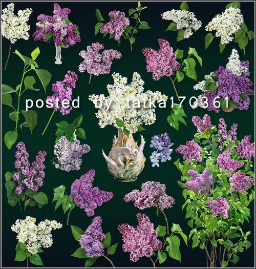 Цветочный клипарт для фотошопа - Сирень, ветки и цветы сирени