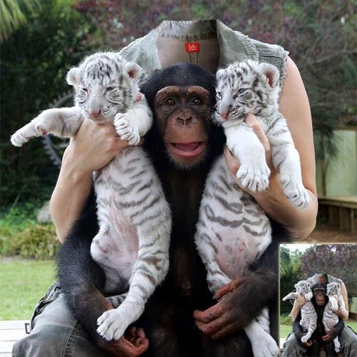 Шаблон для девушек - фото с двумя тигрятами и обезьяной