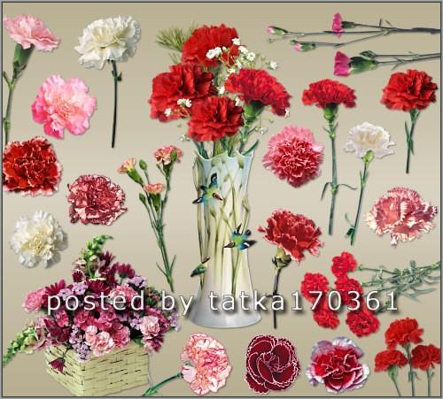 Цветочный клипарт для фотошопа - Цветы гвоздики разных сортов