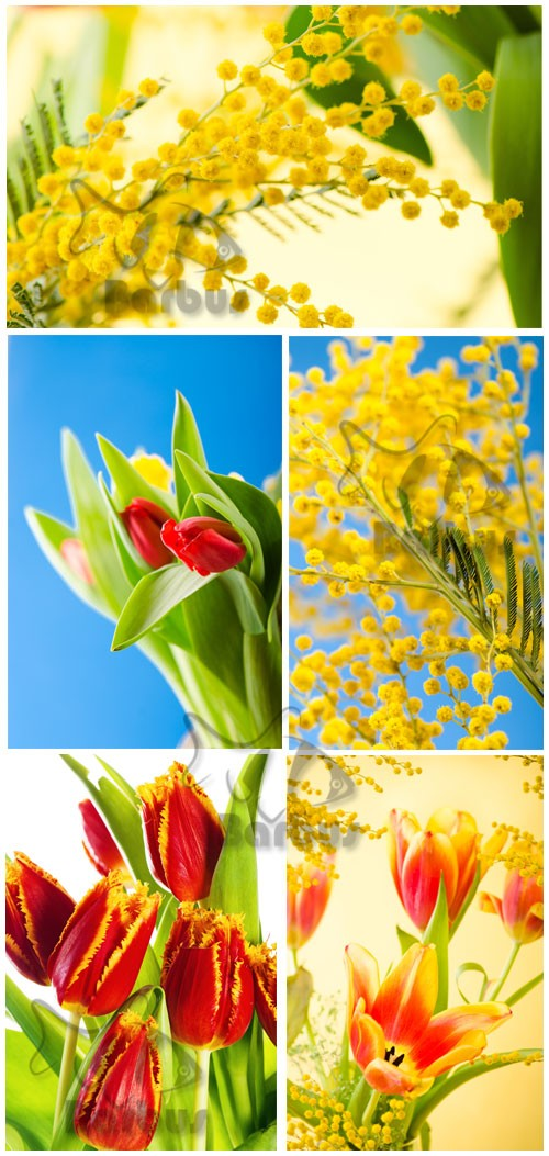 Tulips and mimosas / Тюльпаны и мимоза - Photo stock